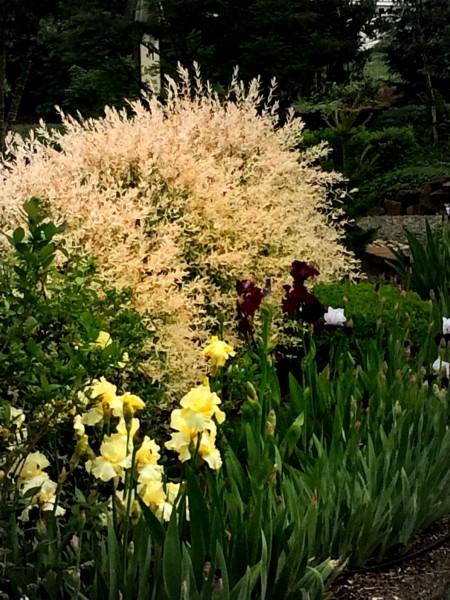 Laurel Hedge Iris