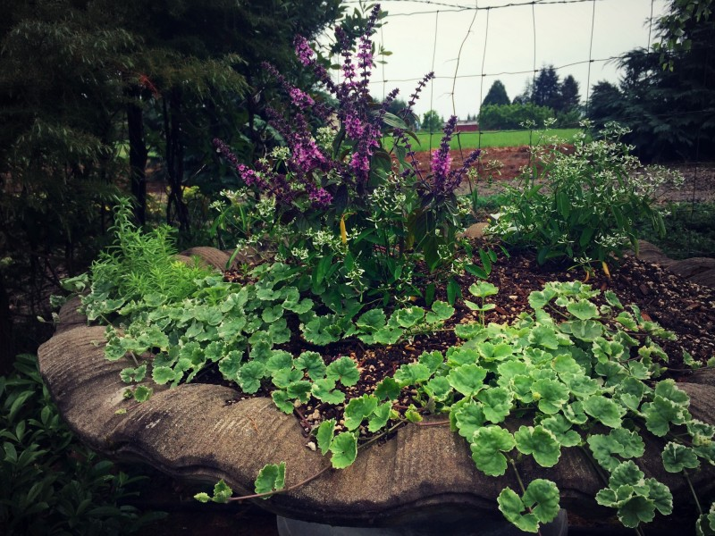 Laurel Hedge planter